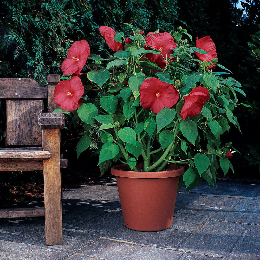 Hardy Perennial Hibiscus Plants