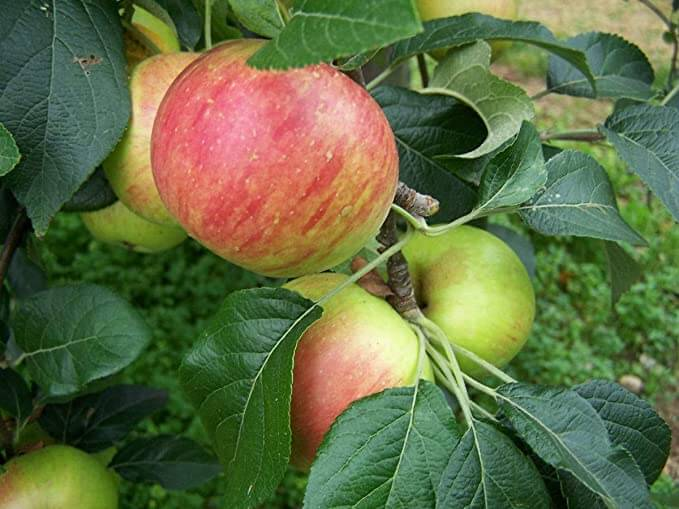 Fortune Apple Tree Care