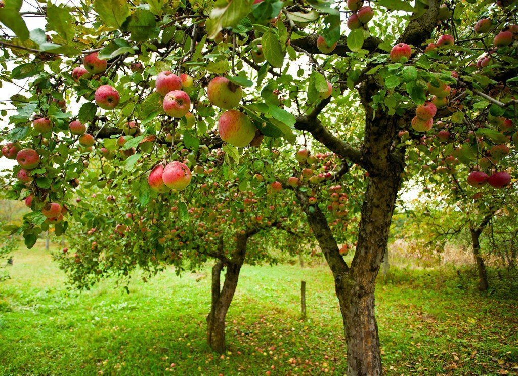 Cortland Apple Tree Growth and Care